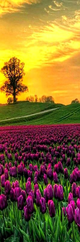 Sunrise on Field of Tulips -- Vesterborg, Denmark #nature #flowers #sunset
