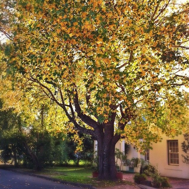 Shared by Fine Places - http://instagram.com/fineplaces - History flows in #Swellendam Historic buildings & age old oak trees like these. #autumn #landscapes #meetsouthafrica