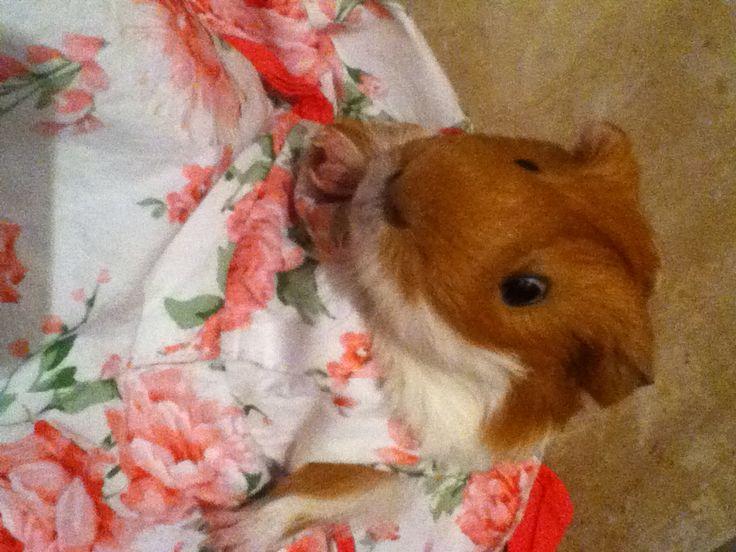 A cute guinee pig in a dress