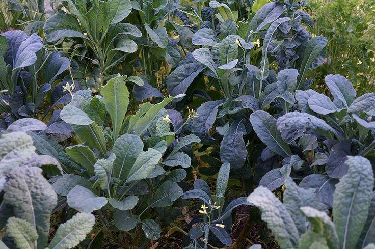 6 beautiful kales to grow | Garden Making