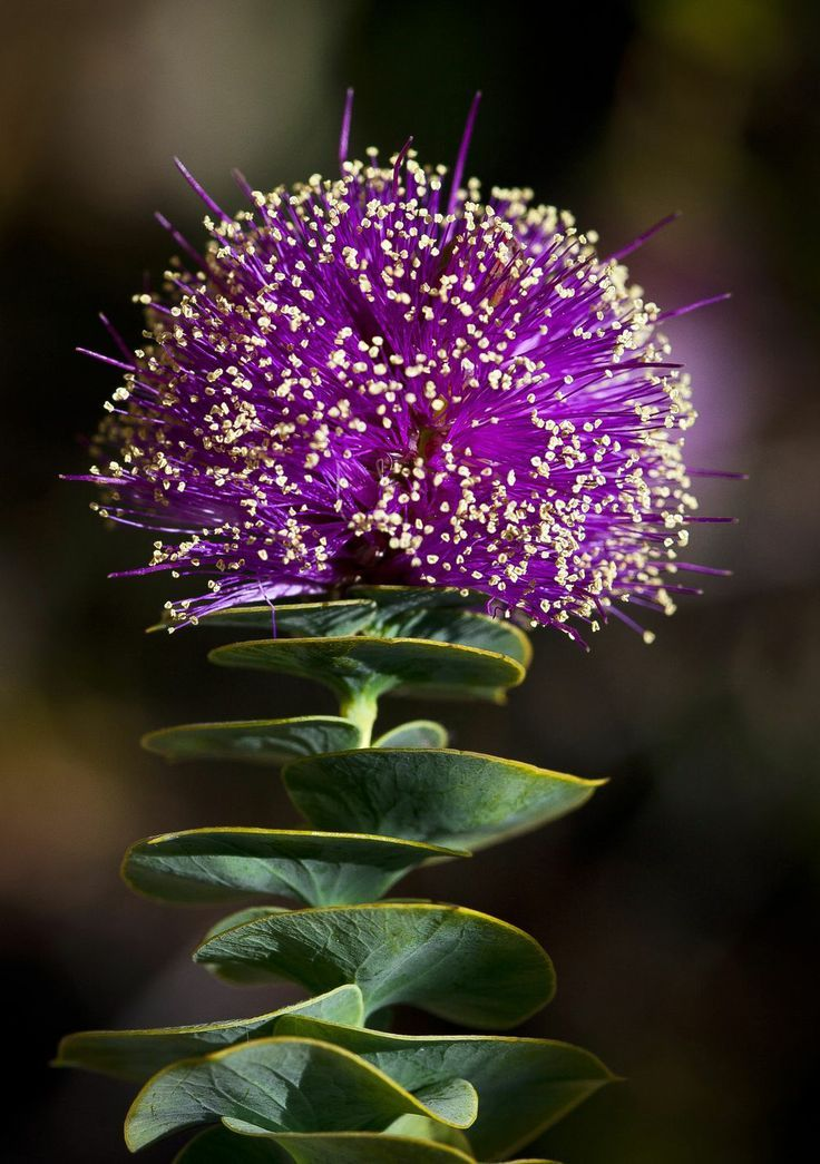 Eremaea Violacea--grows in western Australia. Photograph by Peter Nydegger for National Geographic