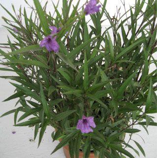 3 Gallon Flowering Bushes - Ruellia Purple Showers