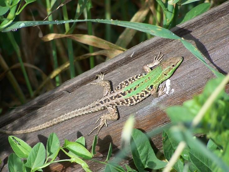 Hagedis in Toscane, Italië  #hagedis #lizard #Madeira #Toscane