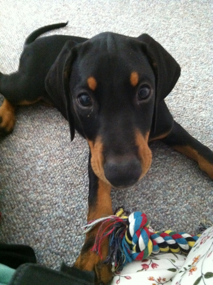 Doberman puppy with ears and tail