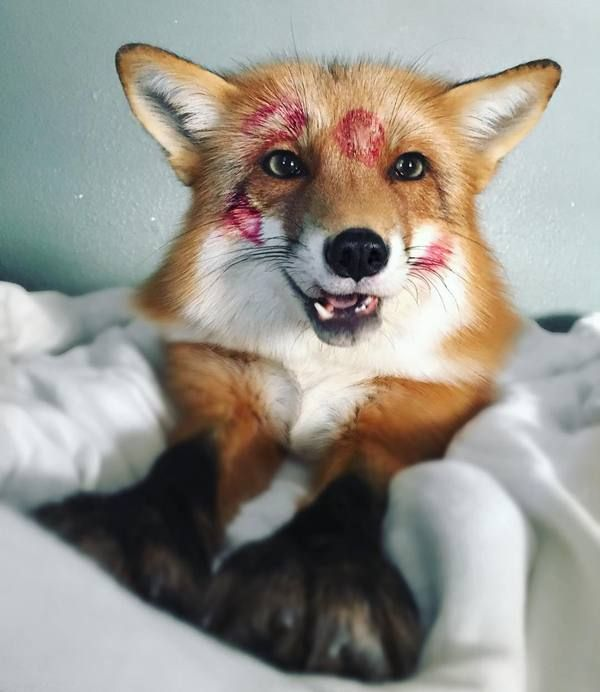 Поздравление, смешные лисицы картинки