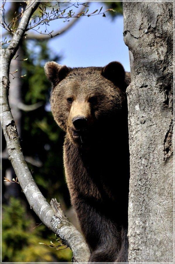 Brown bear...correction... brawn bear.