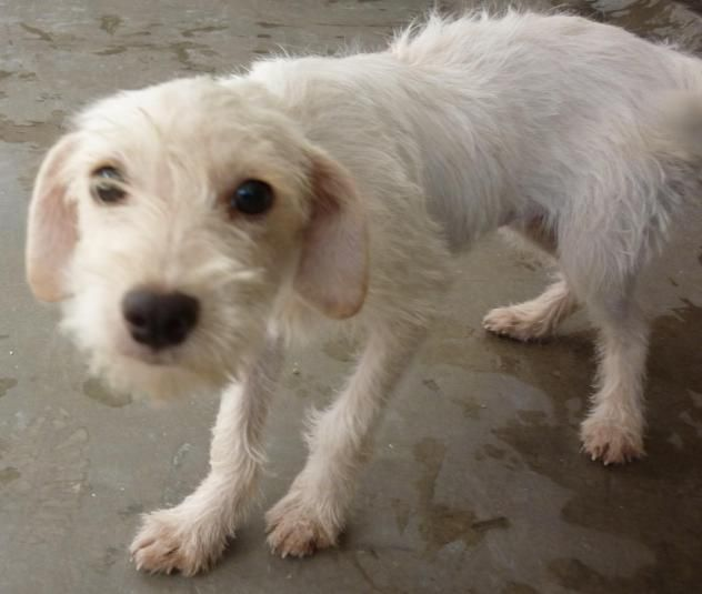 Los Cabos Humane Society; Cabo San Lucas, BCS.  TITA!!! <3 AVAILABLE FOR ADOPTION OCTOBER 3RD 2016! • Terrier & Poodle X • Young • Female • Small.