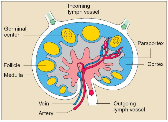 lymph node structure - Google Search