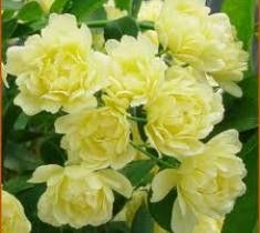 Lady Banks Yellow Rose Rosa banksiae Lutea clusters of double pastel yellow flowers in early spring. A thornless rambler with long elegant canes, Lady Banks Rose is easy to prune and train or it can b
