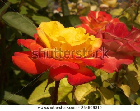 Yellow and red rose.
