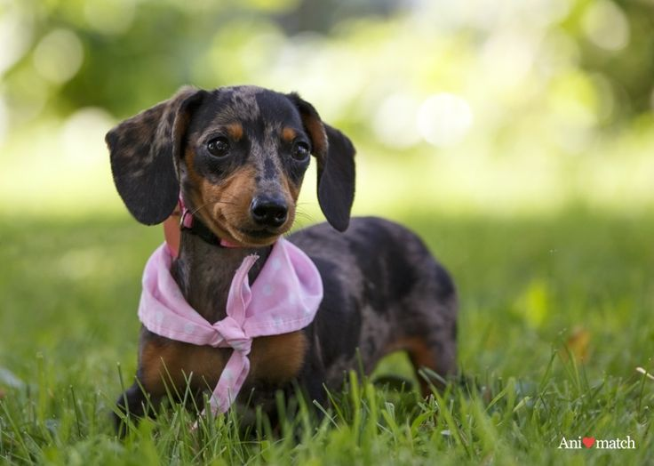 1214 Best Images About Dachshund Love Board 1 On Pinterest