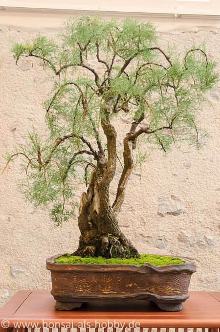 tamarix chinensis als bonsai bonsai b ume pinterest discover more ideas about bonsai. Black Bedroom Furniture Sets. Home Design Ideas