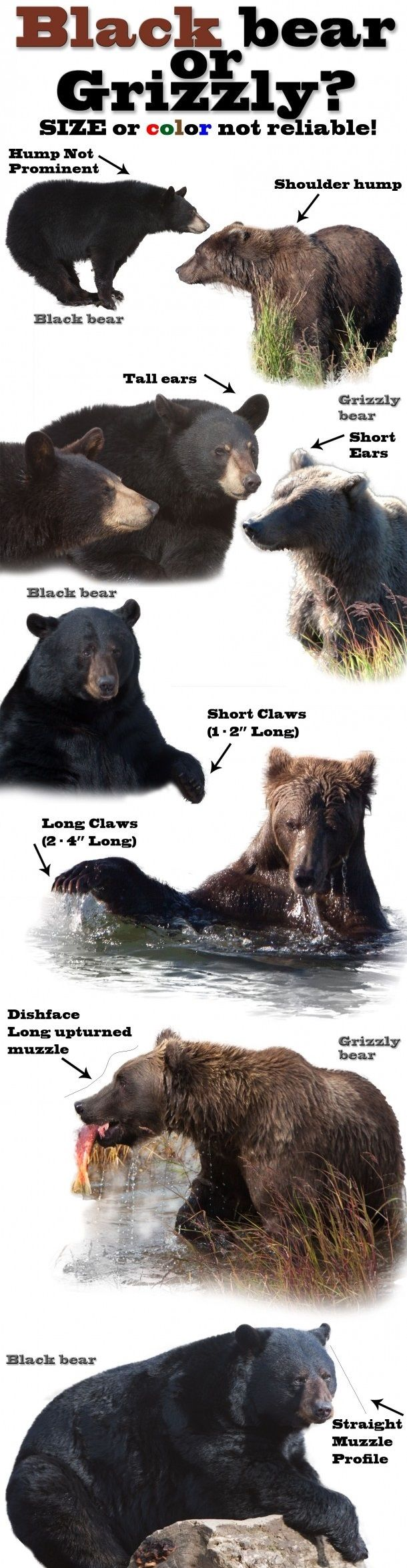 Grizzly vs. Black Bear - Which is it?