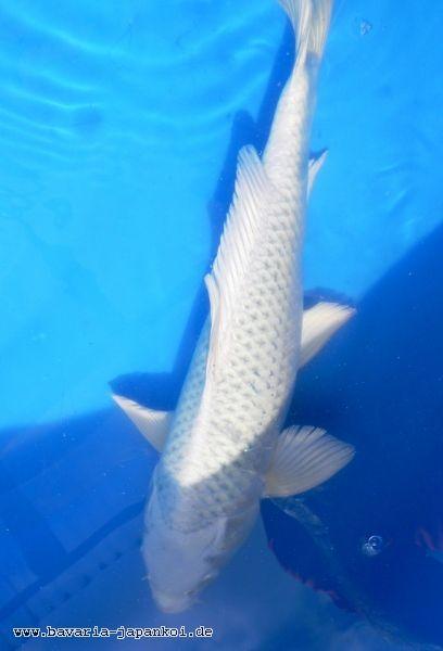Shiro matsuba nonmetallic white koi with dark pinecone for Real blue koi fish