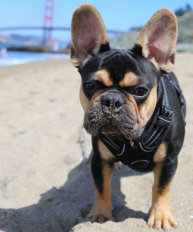 """What?""..., ""is there something on my face?"" Thanks @puptravels for the recent feature! 💞 @heyhamlet, #bayareafrenchies #frogdog #frenchbullynation #frenchiephotos #instafrenchie #frenchiesoftheworld #batpig #househipposhomey #thefrenchiedaily #batears #thedf #frenchielove_feature #ig_bullys #buzzfeedanimals #bouledoguefrançais #houndsbazaar #bulldogfrancesbrasil #puppiesxdogs #ruffpost #ig_bulldogs #weeklyfluff #cutedogsplanet #showpetslove #dailybarker #frenchieface #mannysbuddyoftheweek"