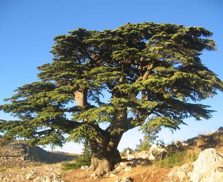 Cedar of Lebanon Tree | Photograph courtesy of Olivier BEZES