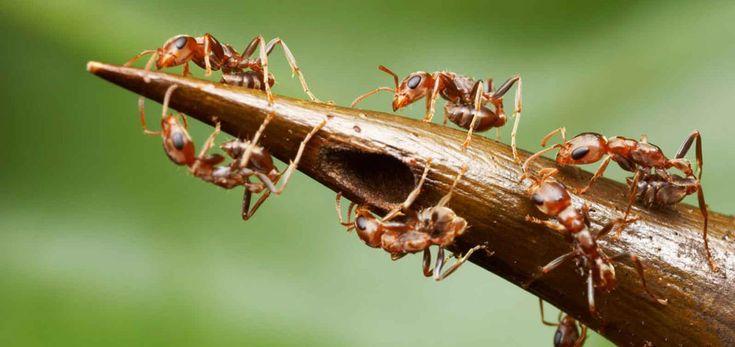 fire ant Fourmi de l'acacia cornigera (pseudomyrmex ferruginea ou « bullhorn acacia ant ») Source : notre-planete.info, http://www.notre-planete.info/actualites/3902-douleur-piqure-guepe-fourmi-abeille
