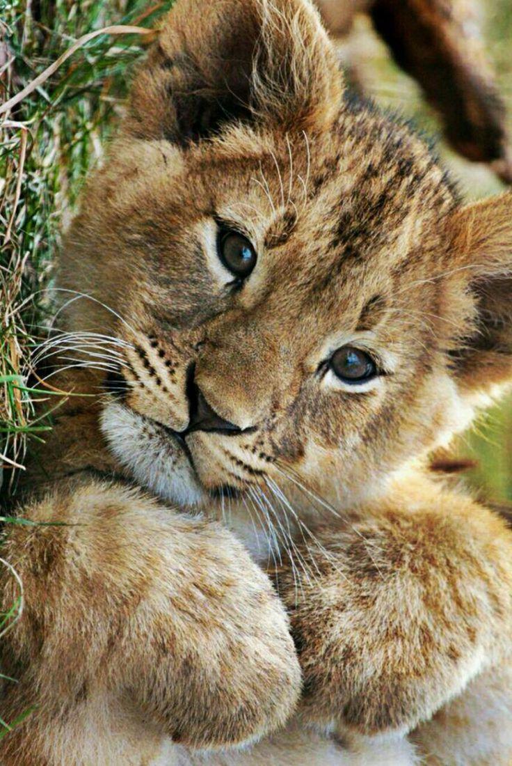 Cute Lion Cub Sweet Animals