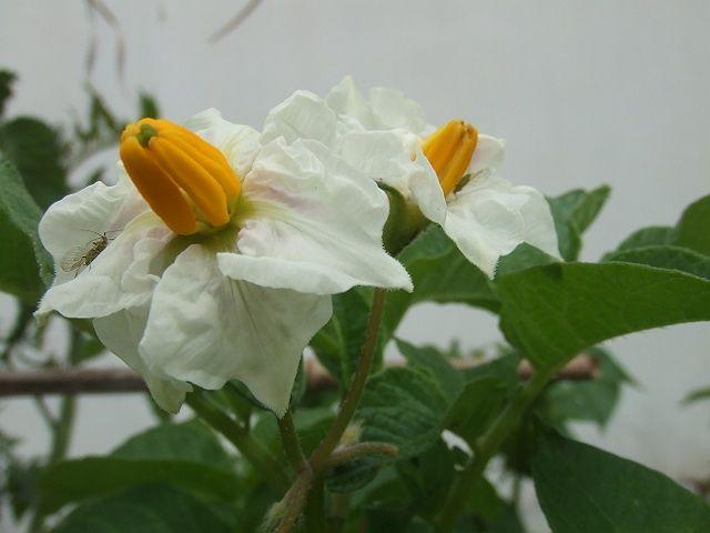 flor de batata