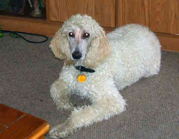 Adoption for Standard Poodle Rescue | dog for sale standard poodle adoption standard poodle puppies