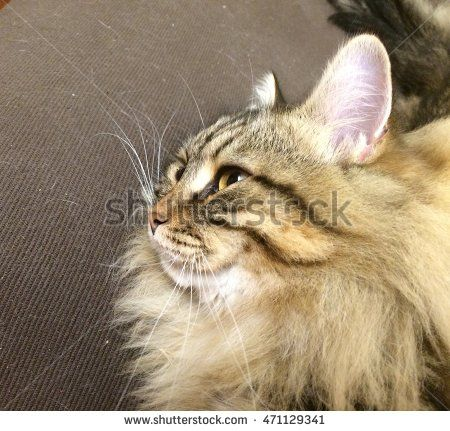 Adorable brown cat of siberian breed, longhair