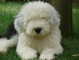 Resultado de imagen de perros bobtail