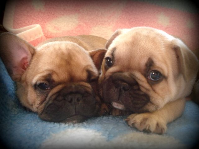 french bulldog breeders florida 17 best images about french bulldog breeders on pinterest 9229