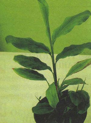 Комнатное растение КАРДАМОН (Cardamomum)
