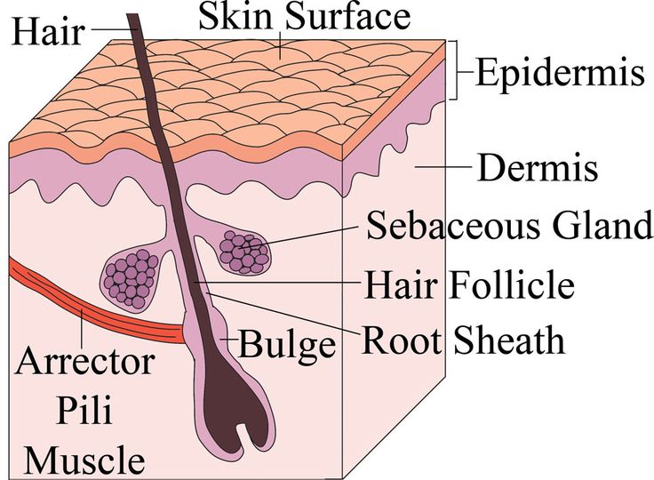 Stem Cells regenerate hair follicles - understanding male baldness