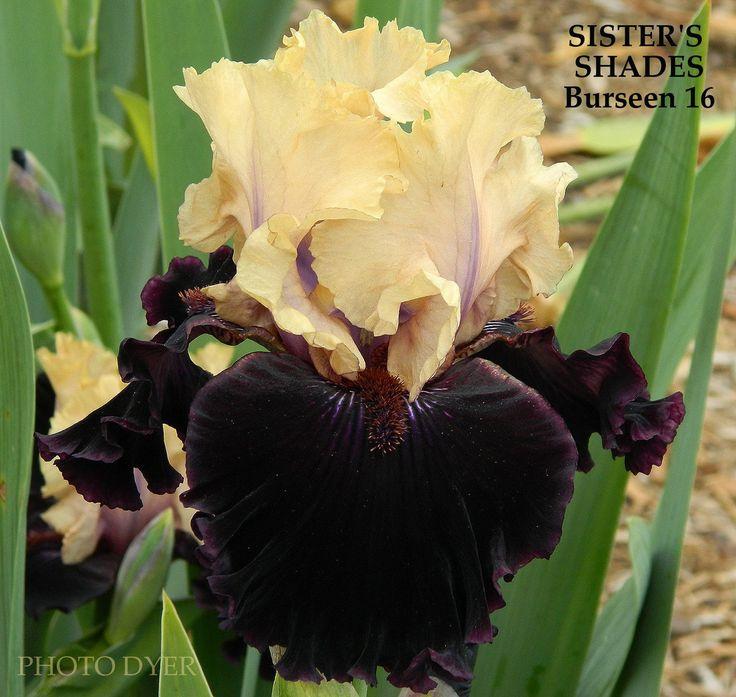 Iris SISTER'S SHADES