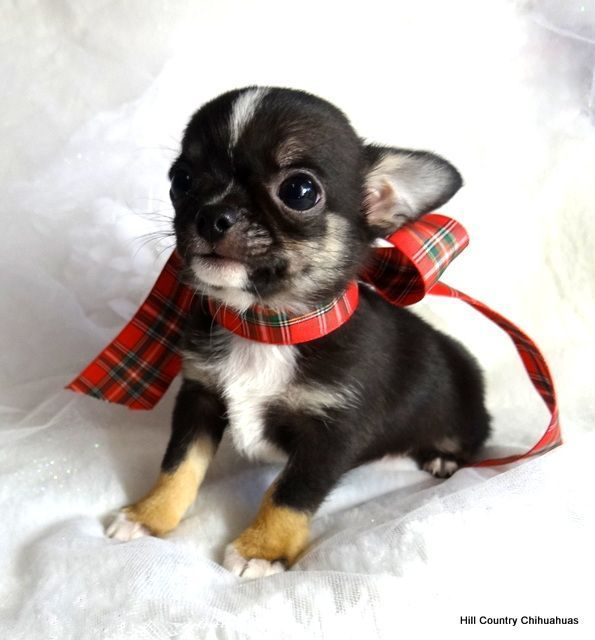 Pin By Angela Shellard On Chi Wi Wi S Chihuahua Puppies