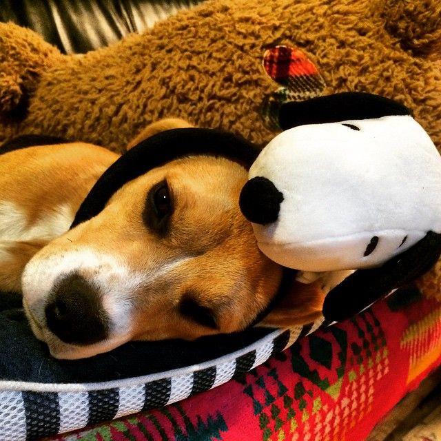 #beagle #puppy #Snoopy #cute #good night   OnInStagram