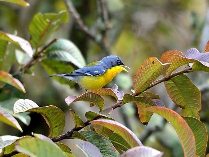 Visitante na Pousada dos Chás em Jurerê - Floripa - Brasil (Pássaro Mariquita)