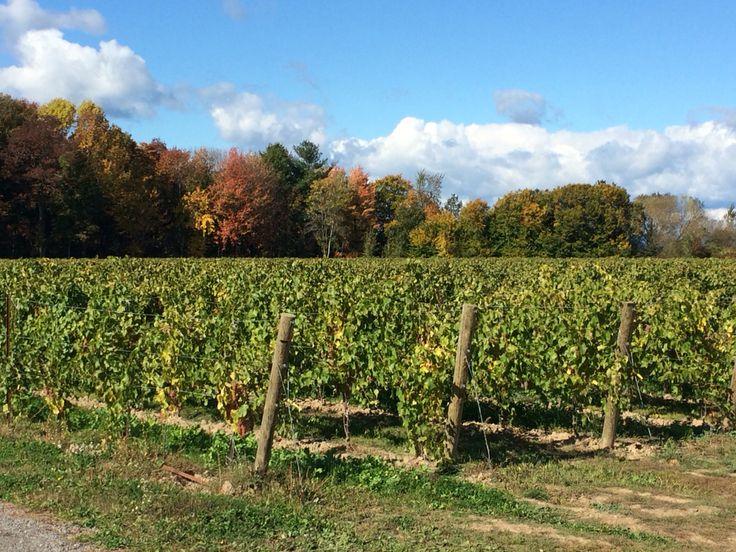 Beautiful backdrop of Autumn foliage.  Niagara on-the-Lake wine region! October 2015