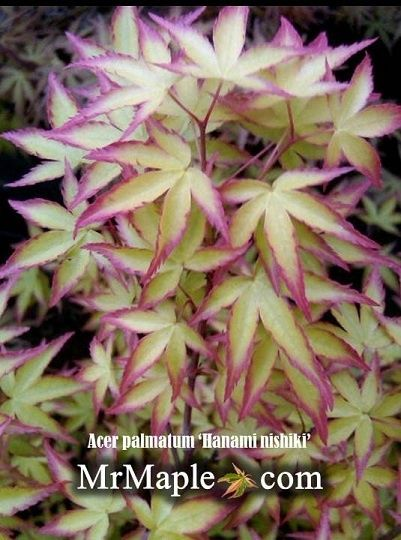 Acer palmatum 'Hanami nishiki' in early spring http://mrmaple.com/hanami_nishiki.html