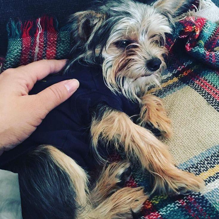 That feeling when someone has just cut your balls off #dogproblems #chorkie #dogsofinsta #dogsofinstagram #chorkiepuppy #chorkielove #huevosgrandes #byebyeballs