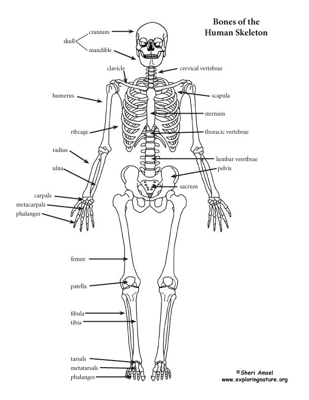 Skeleton Detailed72 612 792
