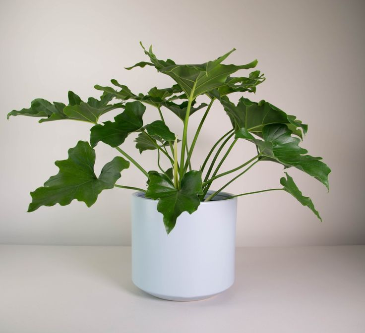Marvelous A Lush Talking Point, Our Indoor Plant Philodendron Selloum In A Chic Grey  Planter