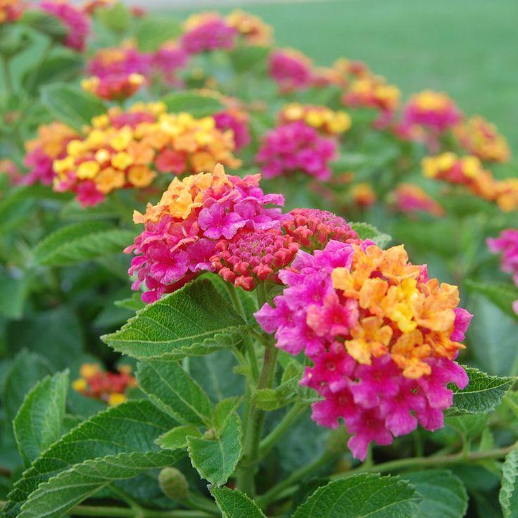 South Beach Compact Hot Pink Lantana Plants Garden