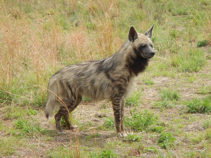 south africa animal striped hyena 1