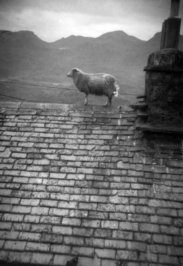 Sheep wandering the streets of Blaenau Ffestiniog (and sometimes the roofs!)
