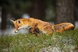 Výsledek obrázku pro liška obecná