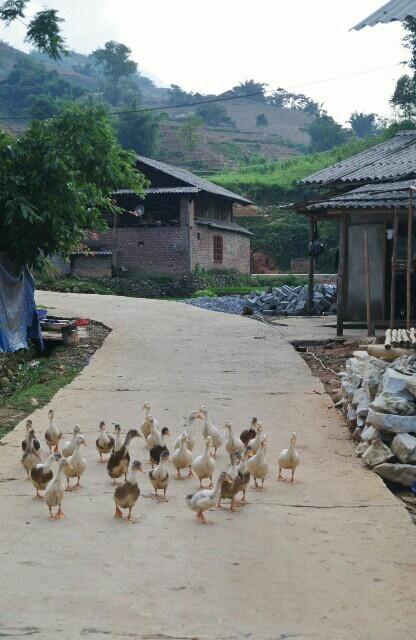 村にはアヒルが結構いた。養殖?してるみたい。