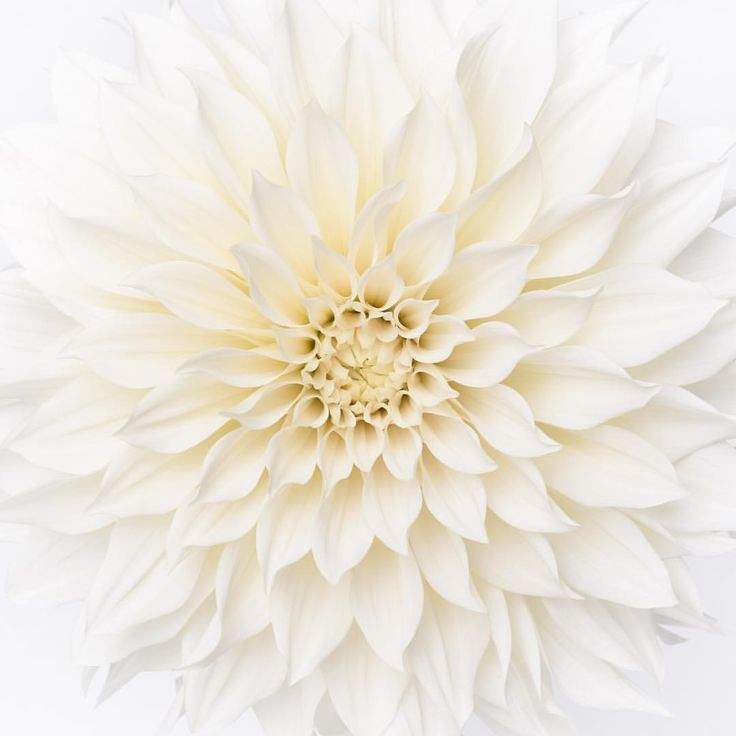 Some of our Cafe au Lait dahlias are coming in almost pure white! Great day to you all! (this one making an appearance in my 2016 calendar, now in the shop) by Georgianna lane photography