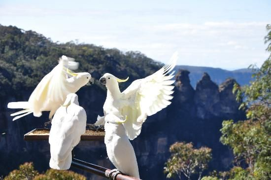 cockatoos with the Three Sisters (the Blue Mountains) in the background