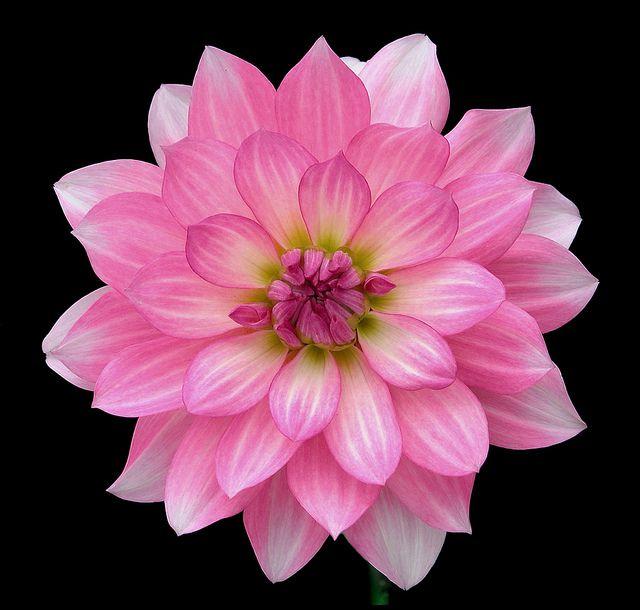 All sizes | Pink Dalia | Flickr - Photo Sharing!