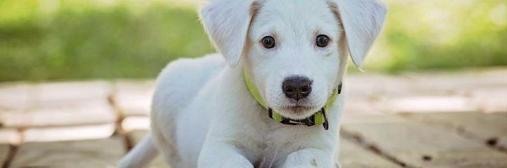 Iedere pup heeft profijt van een goede start en hoe kun je deze beter geven dan met een persoonlijke een op een puppycursus! Een pup kost veel tijd en opvoeden zal niet altijd gemakkelijk zijn