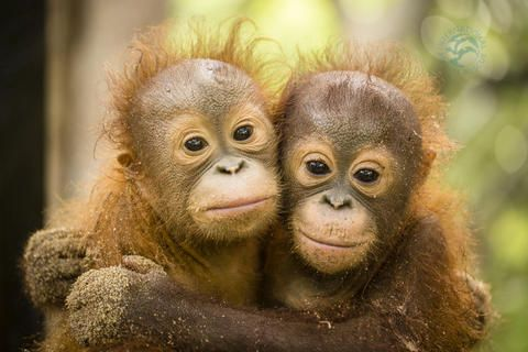 We're celebrating International Orangutan Day today, 19 August, with the release of a portrait of two infant orangutans at our centre in Ketapang, West Borneo. Rocky and Rickina have been inseparable since they completed quarantine and started 'baby school' where they are developing the skills and the strength they will need when they are eventually released back into the wild.