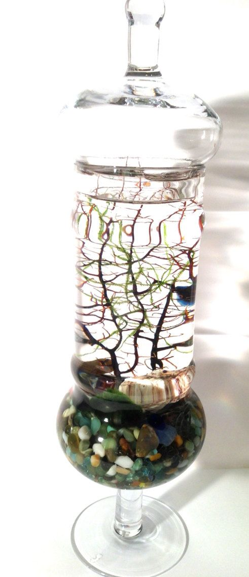 Marimo terrarium apothecary glass centerpiece with java