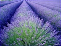 beautiful Lavender field at Joie de Lavande, Knowlton Lavender Farm, Eastern Townships, Quebec, Canada